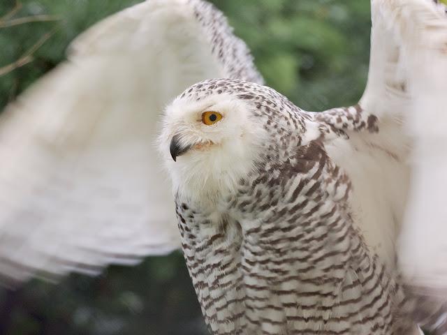 Hedwig? Eine Schneeeule
