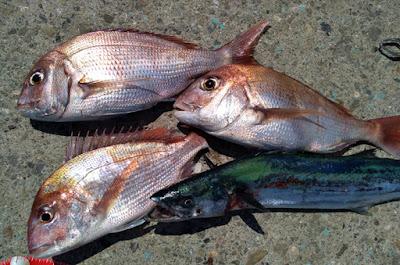 ポータボートでの釣果 真鯛・サワラ