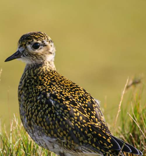 Birds of India - Photo of European golden-plover - Pluvialis apricaria
