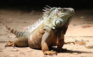 tips-mengatasi-infeksi-jamur-pada-iguana