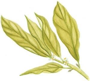 Louro, nome científico: Laurus nobilis