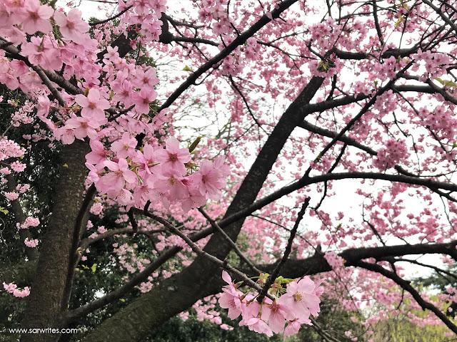 Sakura Trees - Tokyo