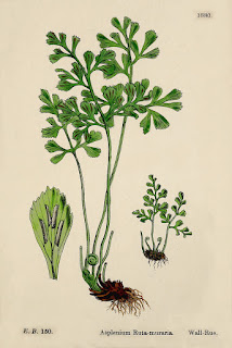 Botanical illustration of Asplenium ruta-muraria.