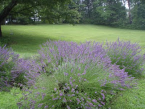 Our Lavender