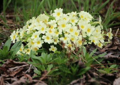 Wild primroses in the garden to attract more bees