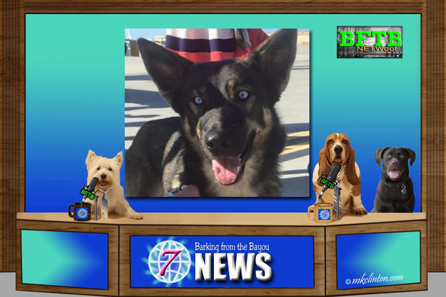 BFTB NETWoof Dog News with German Shepherd/Husky mix photo