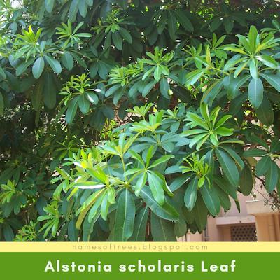 Alstonia scholaris Leaf