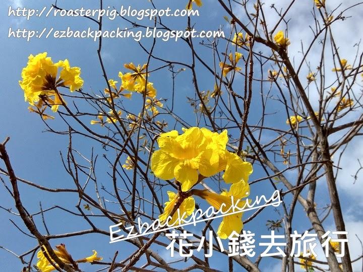 青衣黃花風鈴木