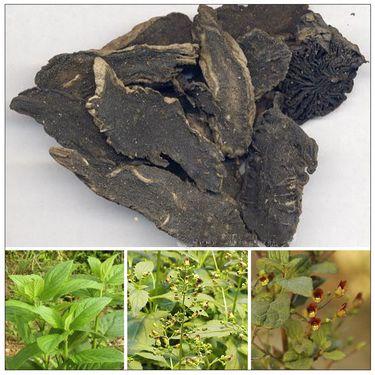 HÌNH ẢNH HUYỀN SÂM - Scrophularia buergeriana - Nguyên liệu làm Thuốc Bổ, Thuốc Bồi Dưỡng