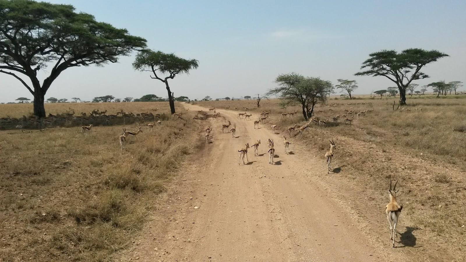 serengeti africa afrika