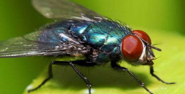 Cara Lalat Memperoleh Makanan, Hewan Penyerap