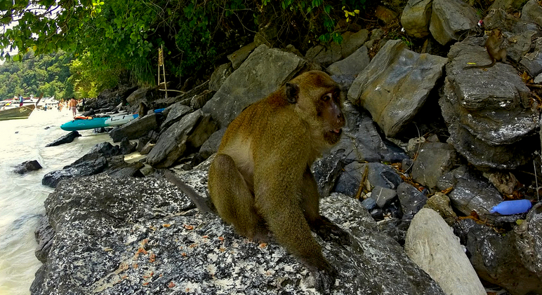 Wild Monkeys at Phi Phi Island
