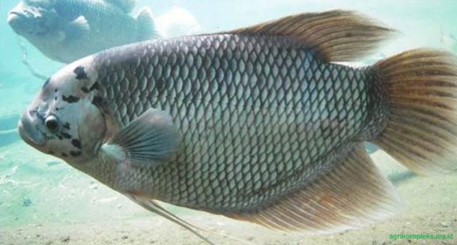 Pada umumnya budidaya ikan gurame dikolam terpal semakin diminati oleh masyarakat untuk sa Cara Budidaya Ikan Gurame Di Kolam Terpal