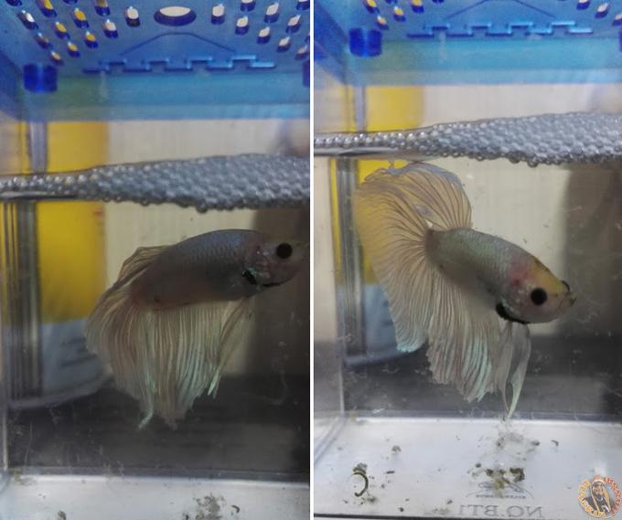 Hobi Bela Ikan Laga Ekor Kembang