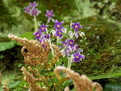 Iwatabako (Conandron ramondioides) flowers: Chojyu-ji