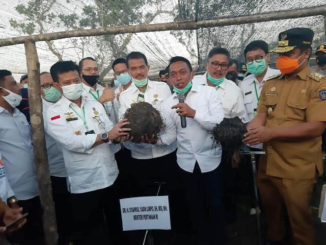 Genjot Komoditas Ekspor, Menteri Pertanian SYL Tanam dan Panen Porang di Sidrap