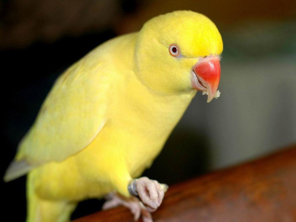Cute Parakeet Wallpaper All Wallpapers Yellow Parrots