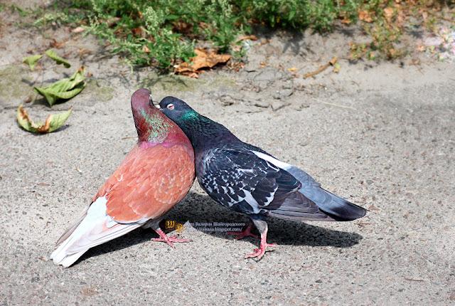 черниговские голуби