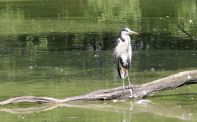 Héron cendré sur un tronc, par des oiseaux de Villars les Dombes