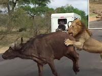 Mengerikan saat Kelompok Singa Jantan Lumpuhkan Kerbau Liar