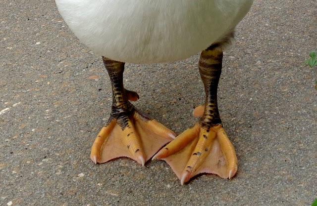 Junior Muscovy Feet