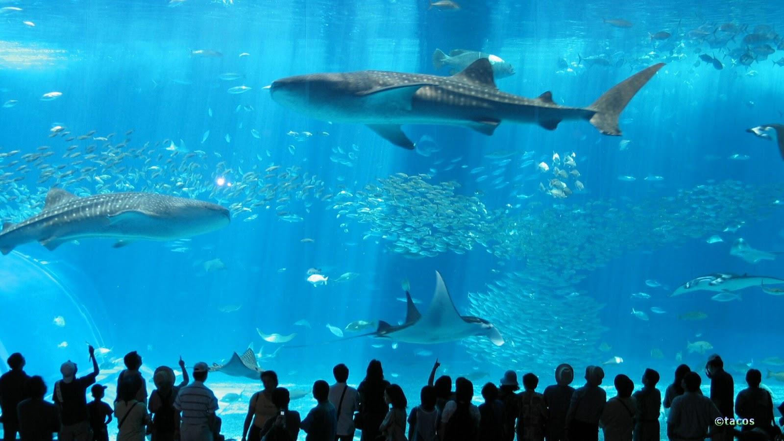 Okinawa Churaumi Aquarium in Japan   Facts Pod