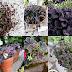 Puutarhan mustat ruukkukasvit