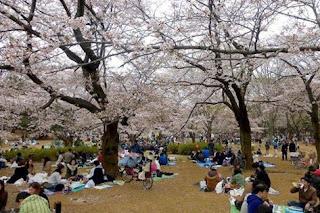 ciliegi-in-fiore-ceres-cerere-ceresi-cerese-dea-madre-fiore-hanami-madre-natura