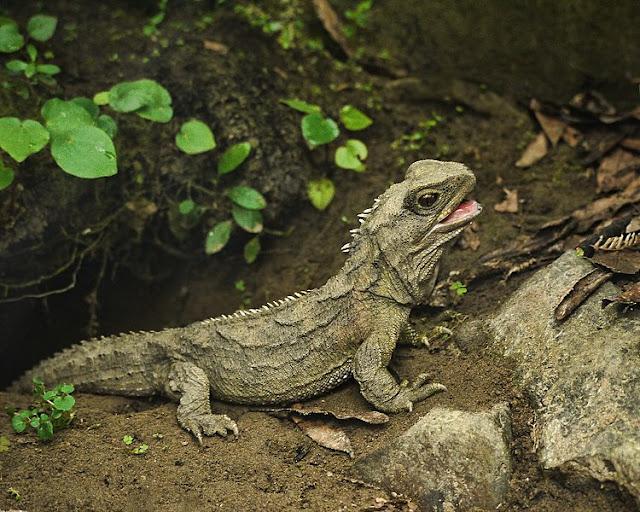 Tuatara of New Zealand decended from species Rhynchocephalia
