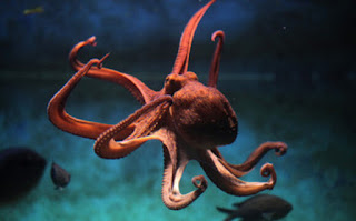 ऑक्टोपस की जानकारी हिंदी में ▷ some facts about octopus in hindi