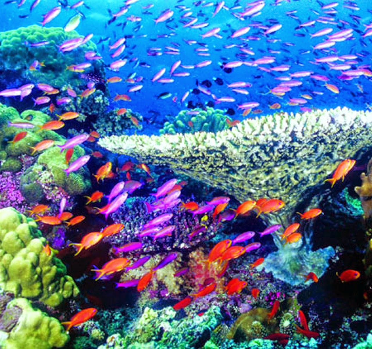 Tags coral reef fish hd wallpapers coral reef fish coral reef fish