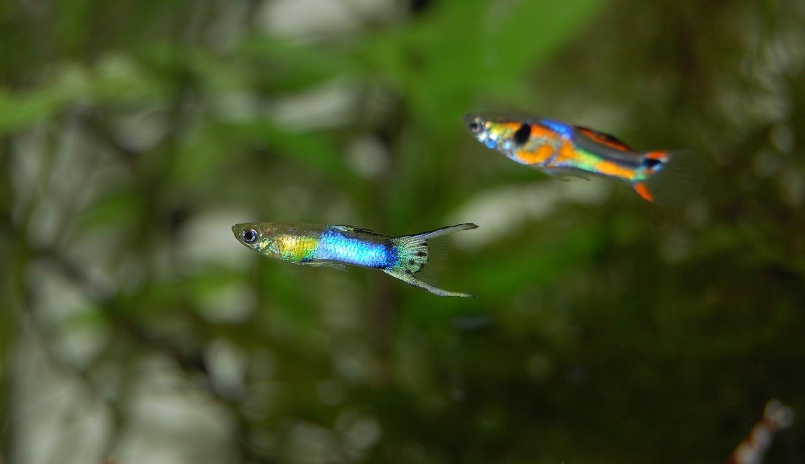 Panduan Lengkap Cara Budidaya Ikan Guppy Muat Artikel