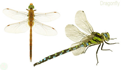 Dragonfly, Dragonfly insect,ফড়িং