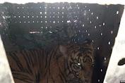 Harimau Sumatera di Aceh yang Sempat Luka Parah Akibat Jerat Dilepasliarkan