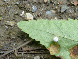 Théridie ovale - Enoplognatha ovata
