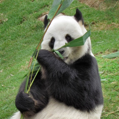 "The panda's ""thumb"" is used to uphold evolution and reject the Creator, but this is dreadful reasoning"