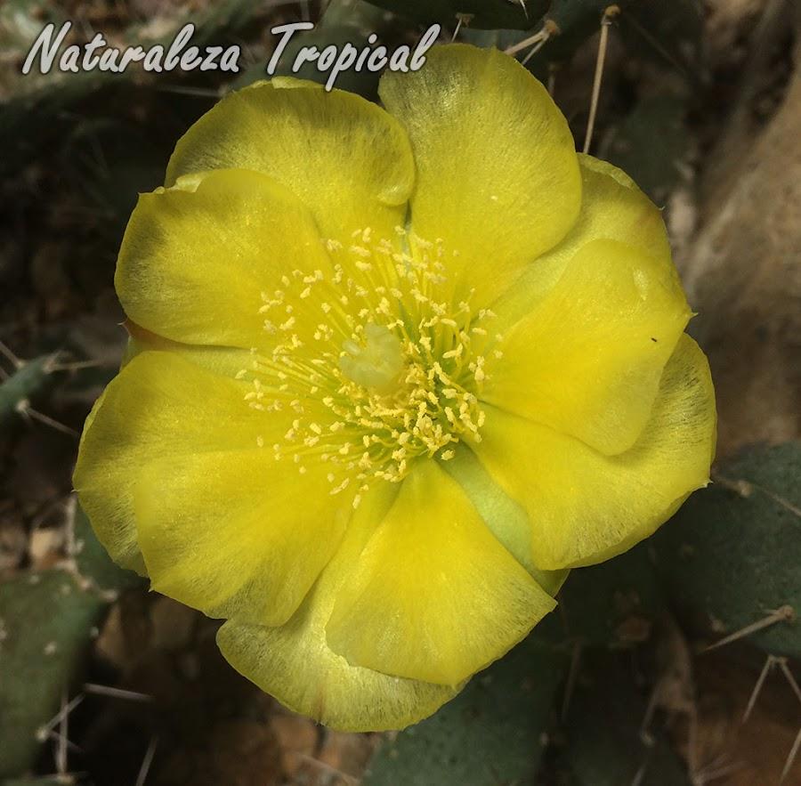 Flor de una especie del género Opuntia