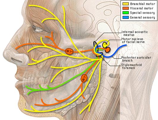 dolor de muelas por los nervios