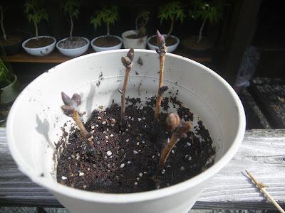 「さし芽・種まきの土」