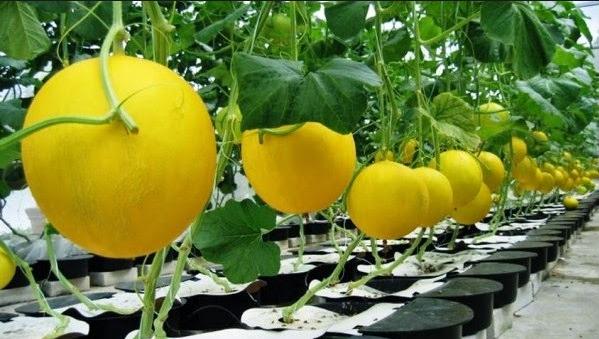 Cara Menanam Melon Hidroponik , Penanaman, Pemeliharaan, Pemanenan Melon Hidroponik