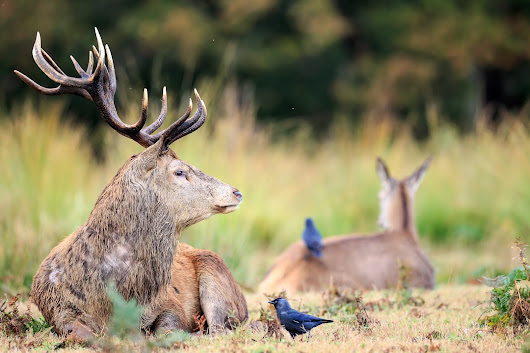 Deer rut at Richmond Park