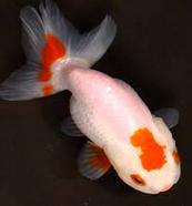 Jenis Ikan Koki Lionhead pemberian pakan