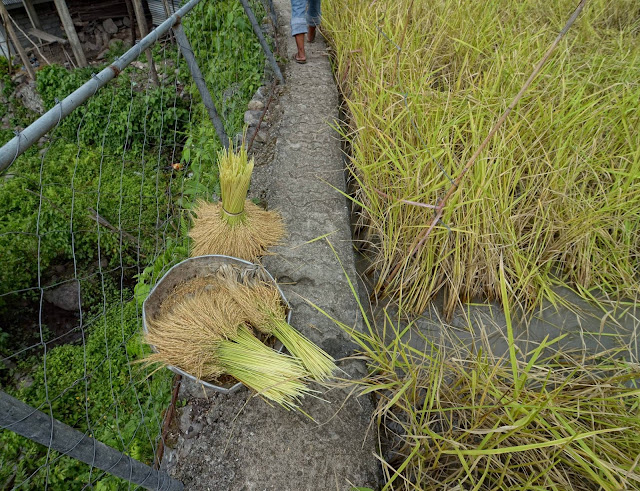 Freshly harvested rice talks
