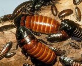 Kecoa madagaskar Makanan Laba Laba Tarantula