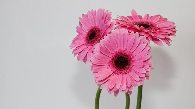 gerbera petal pink flower in white background HD flowers Wallpaper