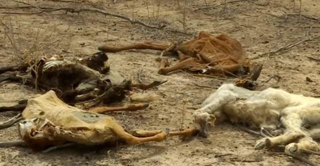 A morte de cabras e ovelhas está intrigando criadores no sertão de Pernambuco e do norte da Bahia