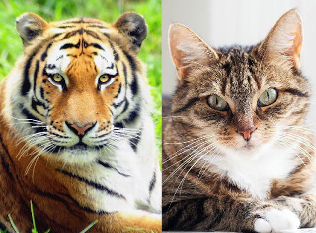 Tiger and domestic cat. Collage: PoC.