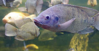 How to Cultivate Livestock Tilapia Fish To Get Big Fast
