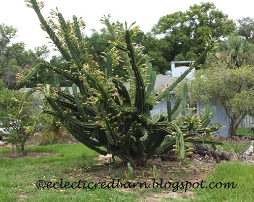 Eclectic Red Barn: Large blooming cactus