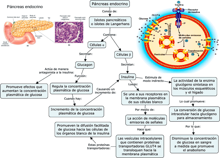Mapa conceptual del Páncreas endocrino